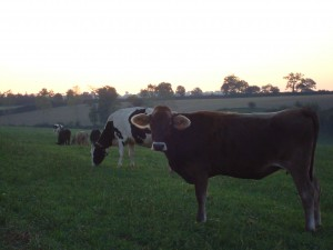 Vaches laitères de race brune et holstein, à l'aurore au parurage